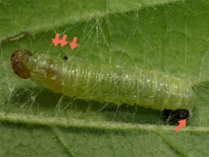 ワモンヒラタハバチの幼虫