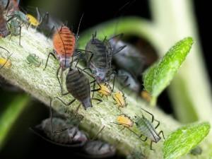 ヨモギヒメヒゲナガアブラムシ Macrosiphoniella yomogicola (Matsumura)